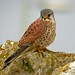 Eurasian Kestrel - Photo (c) Paul Roberts, some rights reserved (CC BY-NC)