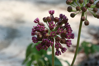 Clasping Milkweed (Asclepias amplexicaulis)   by Will Stuart