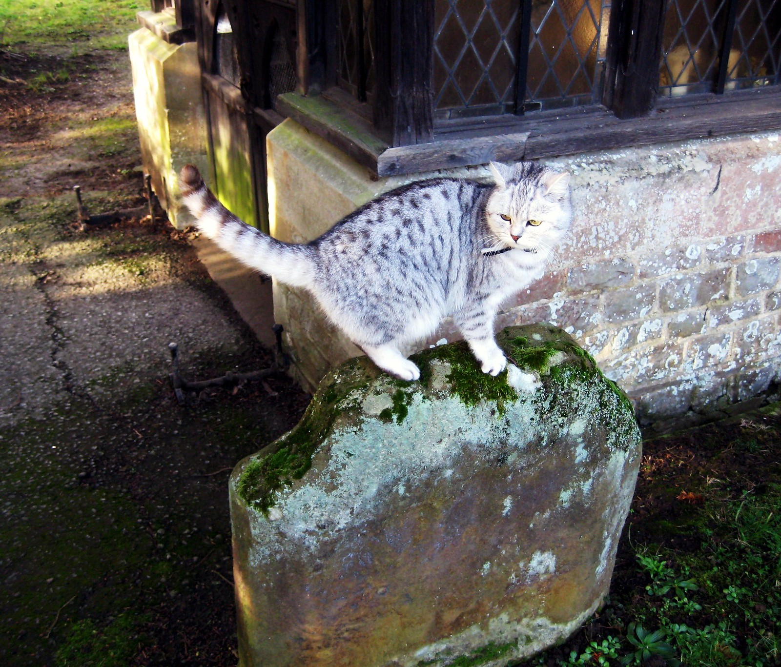 Church Cat This moon-faced cat followed us all around the churchyard of St Peter's in Hever where Ann Boleyn's father is buried. Walk 19, Book 1