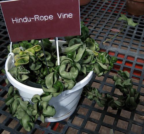 Hindu rope vine