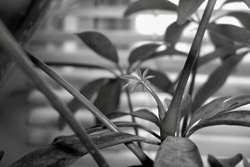 baby schefflera leaves in b&w | by jcipa