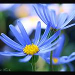 Blue Daisy Dance
