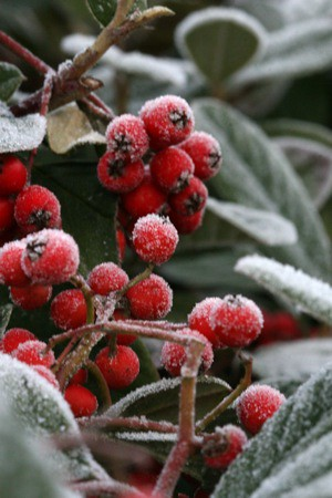 berries in frost | by shimelle