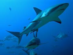 Caribbean reef sharks (Roatan, Honduras) | by alfonsator