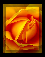 majestic_rose_macro   by elbfoto