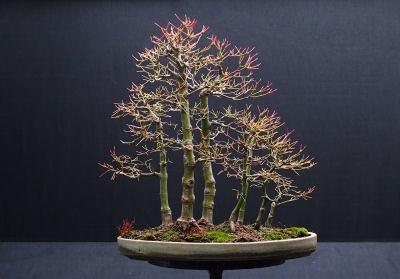 Acer Palmatum Bosque Bonsai 4 Me Carlos Barrêto Flickr