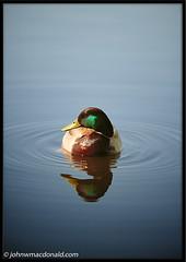 Duck | by johnwmacdonald
