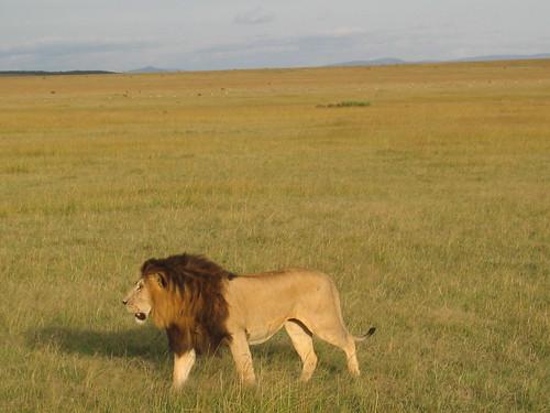 G C lion1