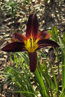 burgundy and yellow daylily