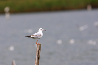 紅嘴鷗 Black-headed Gull | by dotcool