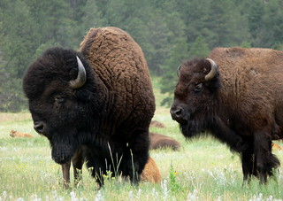 Male and Female Bison | by goingslo