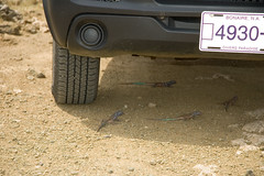 Bonaire whiptail lizard Cnemidophorus murinus ruthveni