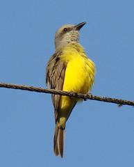 Pitirre Chicharrero [Tropical Kingbird] (Tyrannus melancholicus)   by barloventomagico