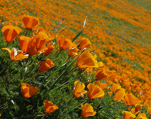 Point Buchon - California  Poppies | by docentjoyce