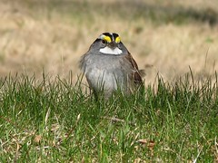 Bruant à gorge blanche -- White-throated sparrow | by Gilles Gonthier