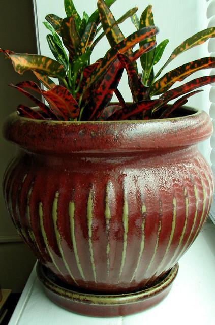 """Croton """"Laurens Rainbow"""" Codiaeum"""