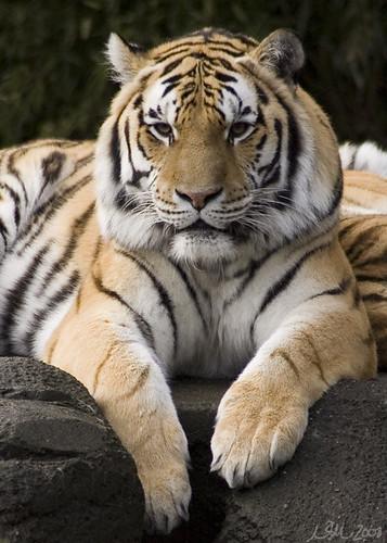 A Tiger's Glare | by nsjmetzger