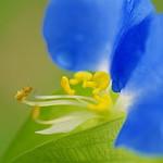 ツユクサ/Day flower