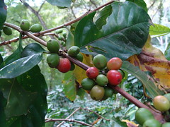 This is what is picked and dried and then roasted to create coffee we love
