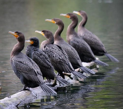 Cormorants - on a log | by Christopher Mark Perez