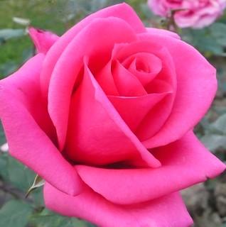 Rose ...   (Explore)  .. 23,000 views