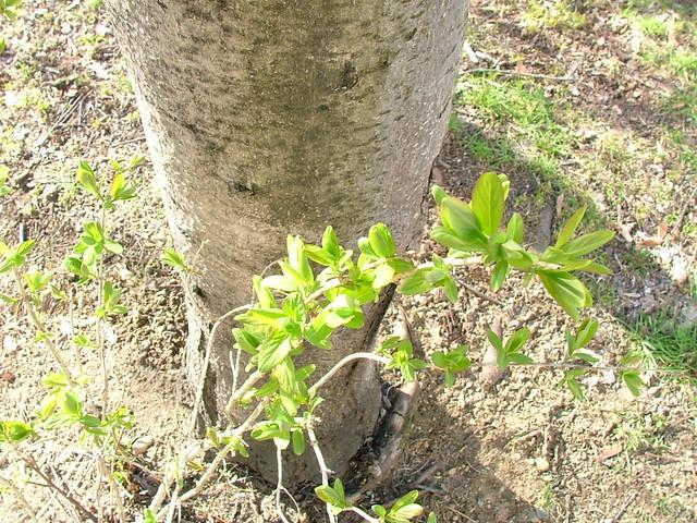 Un arbre et un rejeton I