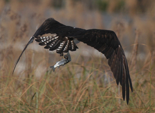 geotagged mullet osprey anawesomeshot superbmasterpiece ilovemypic eyeofthephotographer goldwildlife geo:lat=30519362 geo:lon=86496187