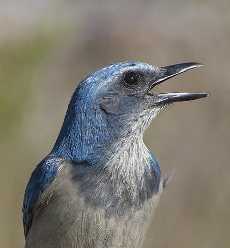 bird jay scrubjay floridascrubjay oscarscherer threatenspecies qualitypixels