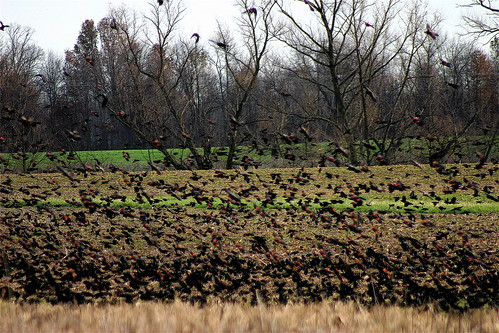 Red Winged Blackbirds in Autumn I by mightyquinninwky