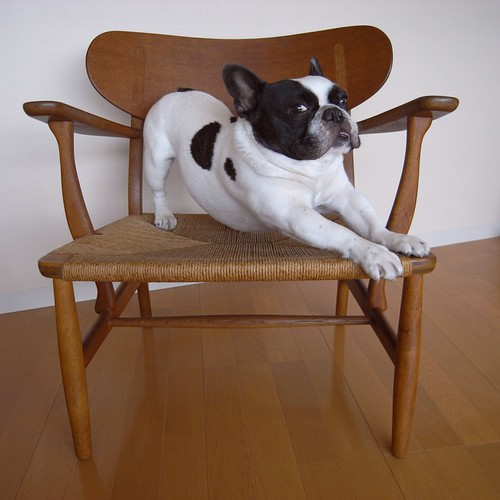 French Bulldog Stretching on Hans J. Wegner chair | by solutionsoap