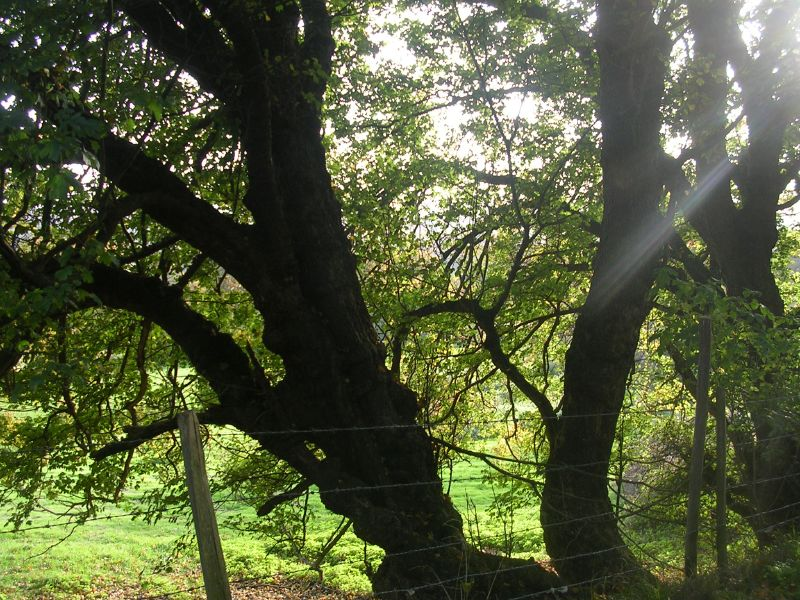 Tree Sevenoaks circular