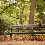 Hawk in Washington Square