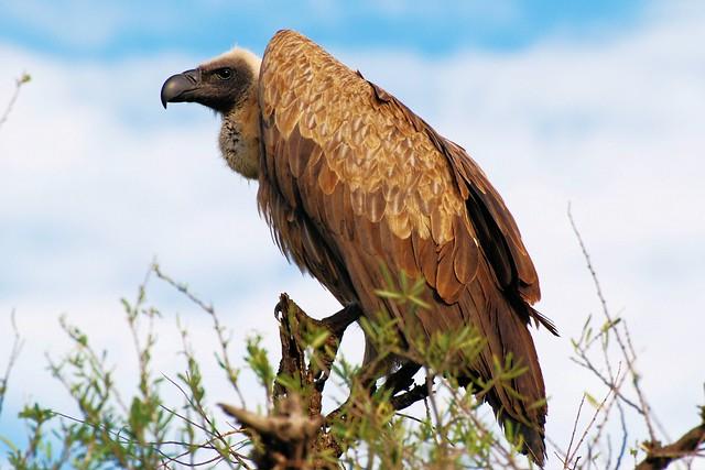 White backed Vulture - Gyps Africanus