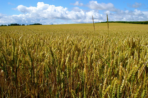 Wheatfields ripening | by allispossible.org.uk
