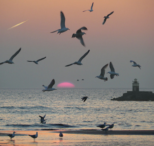 Seagulls mobbing behavior