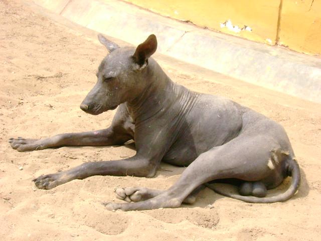 Peruvian hairless dog - The heir  Caquin