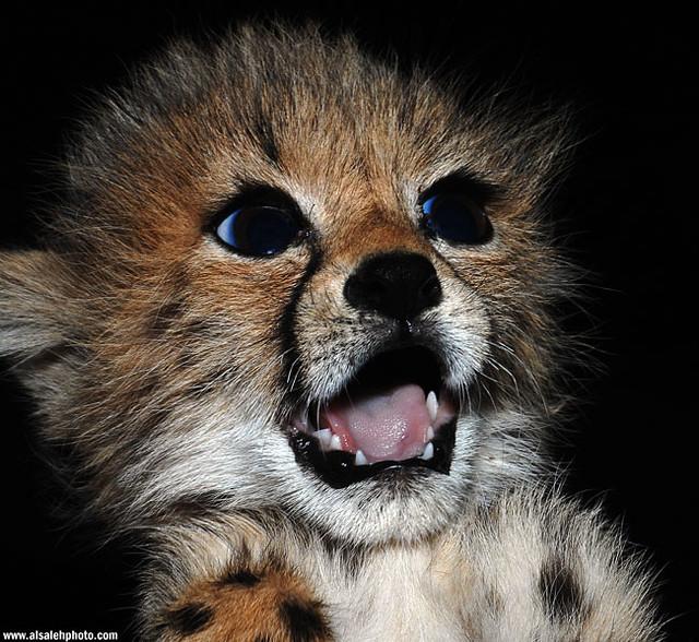 SWEET BABY (Cheetah)