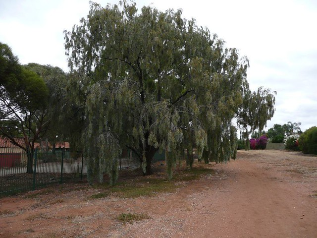 Acacia Salicina Australian Weeping Willow On A Dull Day Flickr