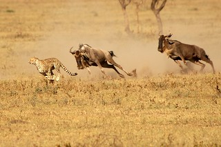 Cheetah Chased! | by Andrew Molinaro