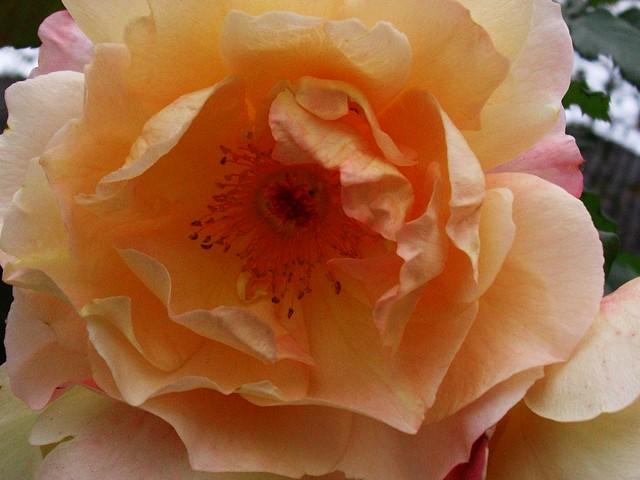 Rose -  creme - 1
