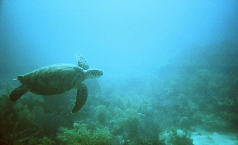 Sea Turtle in Key Largo