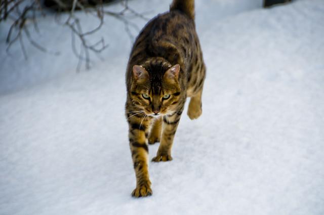 My Bengal cat