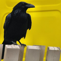 Raven on a fence in front of a yellow car   by Atli Harðarson