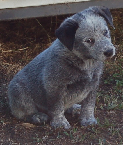 Eric the cattle dog pup