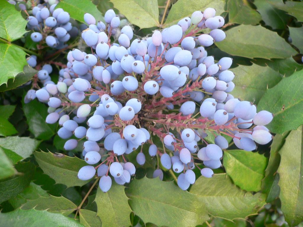 Cespugli Sempreverdi Con Fiori mahonia berries | mahonia is a genus of about 70 species of
