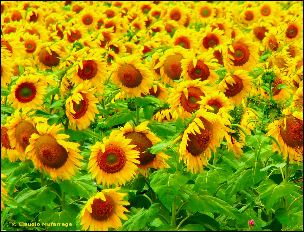 Girasoles para los amigos  / Sunflowers for the friends by Claudio.Ar