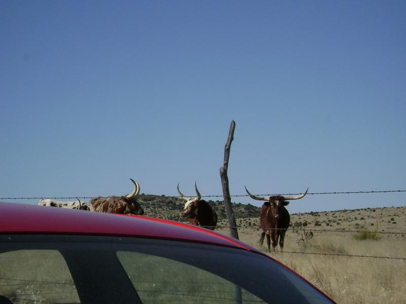 car vs cow