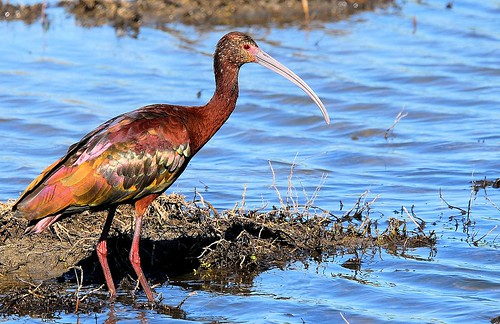 White-faced Ibis | by birding4ever