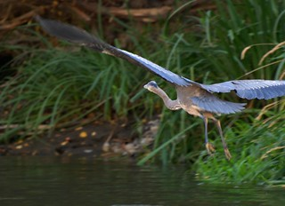 Heron in flight along the Yakima | by Scott Butner