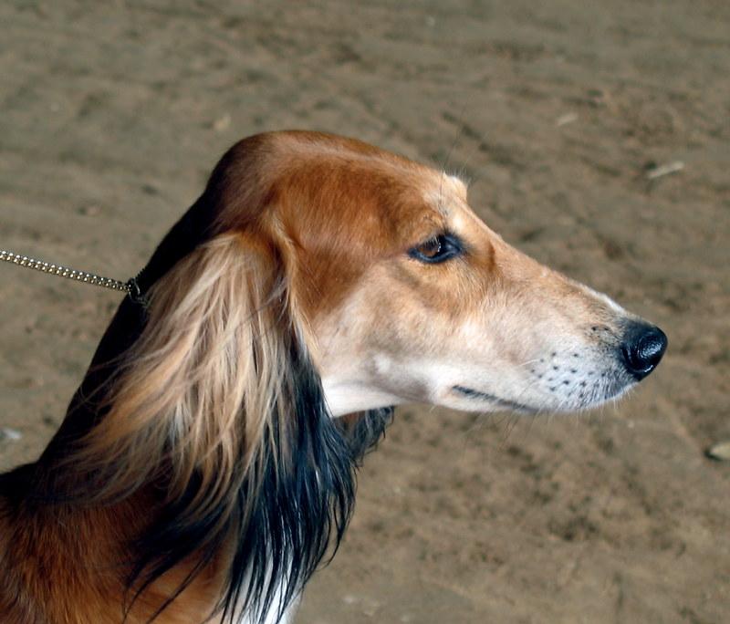 saluki rare dog